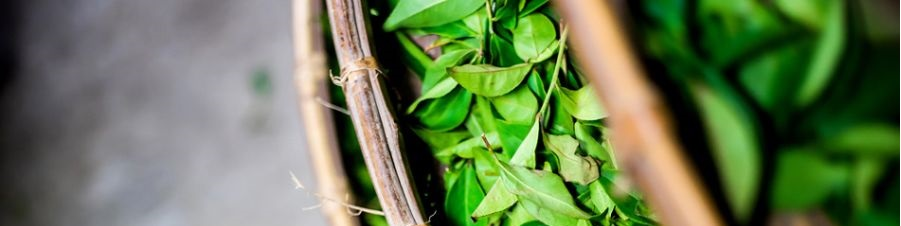 zielona herbata Ronnefeldt, sklep z herbatą, właściwości herbaty zielonej